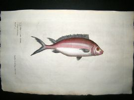 Willughby & Ray 1686 Folio Hand Col Fish Print. Red Eye. Willoughby. Antique